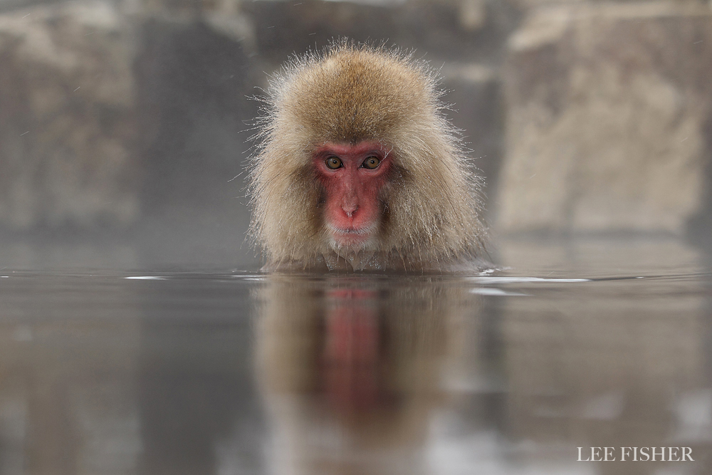 BATHING MACAQUE