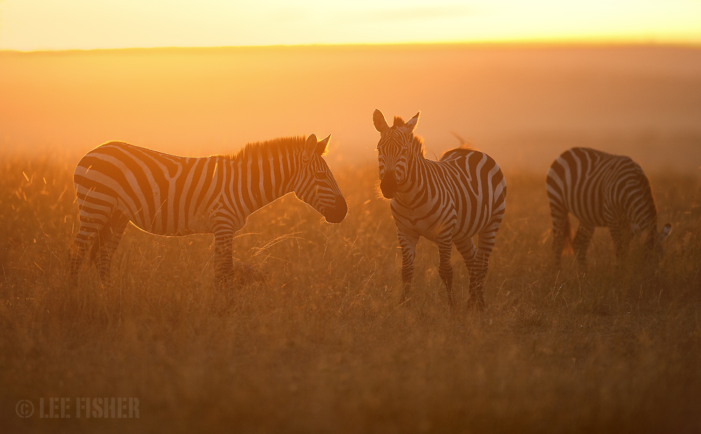 GOLDEN ZEBRAS